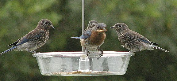 Bluebirds at feeder.  Photo by Pam Spielmann