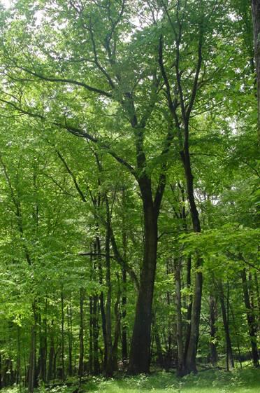 Oaks. Photo by S Leavitt